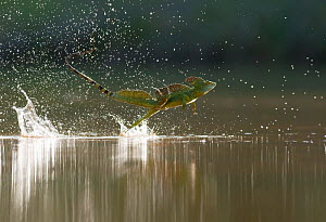 Green / Double-crested basilisk (Basiliscus plumifrons) running across water surface, Santa Rita, Costa Rica  -  Bence Mate