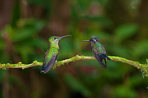 Green crowned brilliant hummingbird (Heliodoxa jacula) and Purple throated mountain-gem hummingbird (Lampornis calolaema) perching on branch, Costa Rica  -  Bence Mate