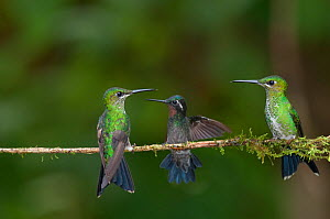 Two Green crowned brilliant hummingbirds (Heliodoxa jacula) and Purple throated mountain-gem hummingbird (Lampornis calolaema) perched on branch, Costa Rica  -  Bence Mate