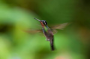 Purple-throated mountain-gem hummingbird (Lampornis calolaema) in flight, Costa Rica  -  Bence Mate