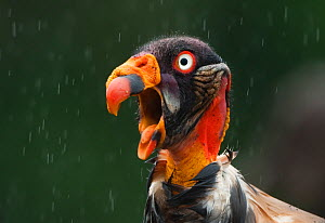 Head portrait of King vulture (Sarcoramphus papa) calling in the rain, Santa Rita, Costa Rica  Not available for ringtone/wallpaper use. - Bence Mate