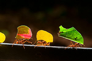 Leaf cutter ants (Atta cephalotes) carrying sections of leaves, to be used for cultivating nutritious fungi, Santa Rita, Costa Rica  -  Bence Mate
