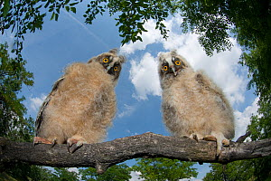 Two Long eared owl chicks (Asio otus) perching on tree branch in daylight,  Pusztaszer, Kiskunsagi National Park, Hungary  -  Bence Mate