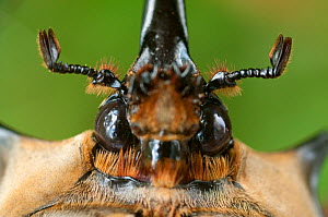 Head portrait of male Elephant beetle (Megasoma Elephas) Santa Rita, Costa Rica  -  Bence Mate