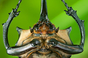 Close up of head and prothorax of male Elephant beetle (Megasoma Elephas) with horns, Santa Rita, Costa Rica - Bence Mate