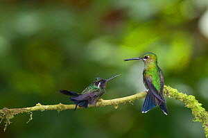 Green crowned brilliant (Heliodoxa jacula) and Purple throated mountain-gem (Lampornis calolaema) perching on branch, Costa Rica,  -  Bence Mate