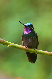 Portrait of Purple-throated mountain-gem (Lampornis calolaema) perching on branch, Costa Rica  -  Bence Mate