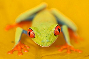 Portrait of Red-eyed tree frog (Agalychnis callidryas) Santa Rita, Costa Rica - Bence Mate