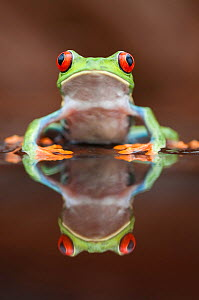 Head portrait of Red-eyed tree frog (Agalychnis callidryas) at waters edge, with reflection, Santa Rita, Costa Rica - Bence Mate