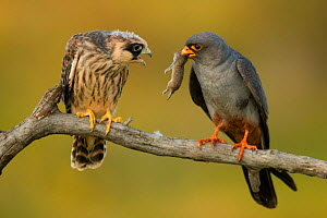 Male Red-footed falcon (Falco vespertinus) offering small mammal prey to female,  Hortobagyi National Park, Hungary  -  Bence Mate