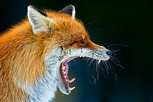 Head portrait of Red fox (Vulpes vulpes) yawning, Transylvania, Romania  -  Bence Mate
