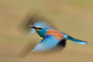 European roller (Coracias garrulus) carrying small insect prey in beak, whilst in flight, Pusztaszer, Kiskunsagi National Park, Hungary - Bence Mate
