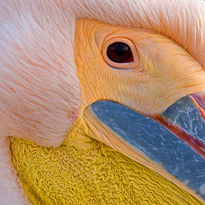 Close up portrait of Eastern white pelican head (Pelecanus onocrotalus) Danube Delta, Romania. Finalist in the Wildlife Photographer of the Year Awards (WPOY) Competition 2016. - Bence Mate