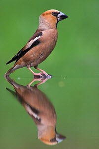 Portrait of male Hawfinch (Coccothraustes coccothraustes) at water's edge, with reflection, Pusztaszer, Kiskunsagi National Park, Hungary  -  Bence Mate