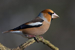 Portrait of male Hawfinch (Coccothraustes coccothraustes) perching on branch, Pusztaszer, Kiskunsagi National Park, Hungary  -  Bence Mate