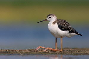 Portrait of immature Black-winged stilt (Himantopus himantopus) sitting, with legs folding infront, Hungary  -  Bence Mate