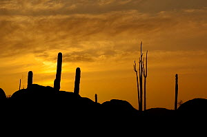 Boojum tree (Fouquieria columnaris) and Cardon cactus (Pachycereus pringlei) silhouetted at sunset, Catavina, Baja Mexico, May 2007  -  Neil Lucas