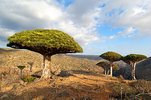 Dragons blood trees (Dracena cinnibaris) in mountainous desert, Socotra, Yemen, February 2007  -  Neil Lucas