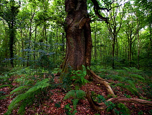 Oak tree (Quercus robur) in deciduous woodland, with ferns,  Savernake Forset, Wiltshire, England  UK - Neil Lucas