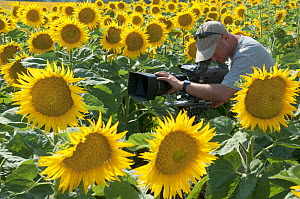 Cameraman Gavin Thurston, filming field of Sunflowers (Helianthus annuus) for BBC series 'Life' France, July 2007  -  Neil Lucas