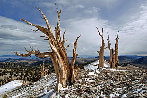 Two dead Bristlecone pine trees (Pinus longaeva) in mountainous landscape, White Mountains, California USA, October 2007 - Neil Lucas