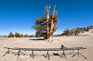 Timelapse filming equiptment, and Bristlecone pine tree (Pinus longaeva) in desert landscape, White Mountains, California, USA, October 2007 - Neil Lucas