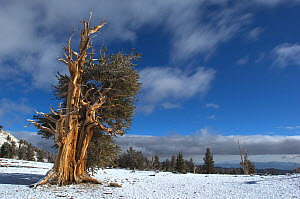 Bristlecone pine tree (Pinus longaeva) in snow covered landscape, White Mountains, California USA, October 2007 - Neil Lucas