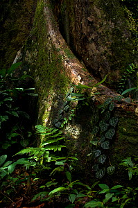 Buttress root, in tropical rainforest, Danham Valley, Borneo  -  Neil Lucas