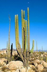 Boojum tree (Fouquieria columnaris) and Cardon cactus (Pachycereus pringlei) in desert, Baja, Mexico, May 2007  -  Neil Lucas