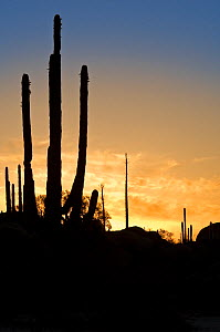 Boojum tree (Fouquieria columnaris) and Cardon cactus (Pachycereus pringlei) in desert at sunset,  Baja, Mexico, May 2007  -  Neil Lucas