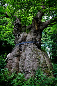Ancient Oak tree (Quercus) Savernake Forest, Wiltshire, UK - Neil Lucas