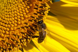 Close up of Honey bee (Apis mellifera) pollinating Sunflower head (Helianthus annuus) in field of sunflower crops, France  -  Neil Lucas