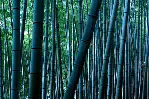 Giant bamboo (Cathariostachys) forest, Kyoto, Japan, February 2008  -  Neil Lucas