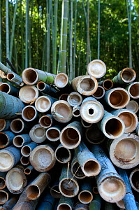 Cut and stacked Giant bamboo (Cathariostachys) within forest, Kyoto, Japan, February 2008  -  Neil Lucas