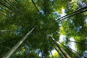 Giant bamboo (Cathariostachys) view up into  canopy from the forest floor, Kyoto, Japan, February 2008  -  Neil Lucas