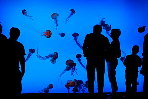 Sea nettles (Chrysaora quinquecirrha) in aquarium, with crowd of people watching, Atlanta, USA, October 2009  -  Neil Lucas