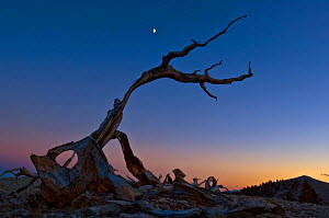 Twisted and fallen Bristlecone pine tree (Pinus longaeva) at night, with half moon, White Mountains range, California, USA, October 2007 - Neil Lucas