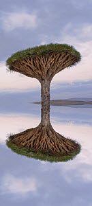 Dragons blood tree (Dracena cinnibaris) reflected, Socotra, Yemen, February 2007. Digitally created image  -  Neil Lucas