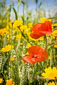Common poppies (Papaver rhoeas) and Corn marigold (Chrysanthemum segetum) growing in a Wheat field, UK  -  Neil Lucas