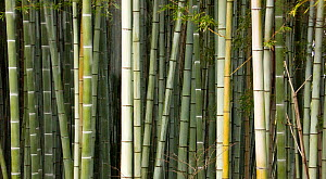 Stems of Giant bamboo (Cathariostachys) Rakusai Bamboo Park, Japan - Neil Lucas
