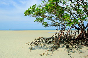 Red mangrove (Rhizophora mangle) on beach at low tide, Daintree National Park, Australia, December 2007  -  Neil Lucas