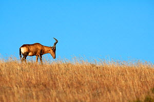 Red hartebeest (Alcelaphus buselaphus) male on skyline, Eastern Cape, South Africa, June  -  Richard Du Toit