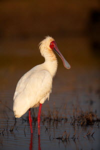 African spoonbill (Platalea alba) at water, Chobe NP, Botswana, July - Richard Du Toit