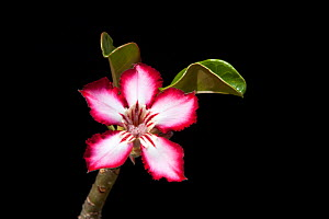 Impala lily flower (Adenium multiflorum) Sabi Sand GR, South Africa, October  -  Richard Du Toit