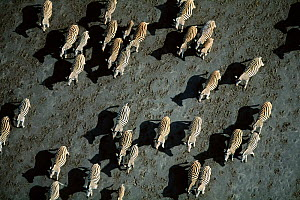 Aerial view of herd of Common zebra (Equus quagga) Makgadikgadi salt pans, Botswana  -  Richard Du Toit