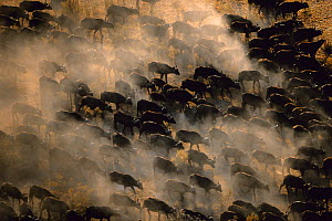 Aerial view of herd of African buffalo (Syncerus caffer) on the move, Okavango delta, Botswana - Richard Du Toit