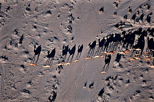 Aerial view of herd of Dromedary camels (Camelus dromedarius) with long shadows, northern Kenya  -  Richard Du Toit