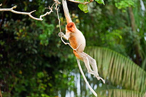 Sub-mature male Proboscis Monkey (Nasalis larvatus) swinging from a liana. Bako National Park, Sarawak, Borneo, Malaysia, April 2010.  -  Anup Shah