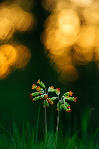 Red-flowered Cowslip (Primula veris), Potsdam, Brandenburg, Germany  -  Sandra Bartocha