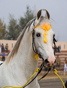Domestic horse, Portrait of a Nukra stallion presented at the horse show during the Maghi Mela festival, Muktsar, Punjab, India. January 2010 - Kristel Richard